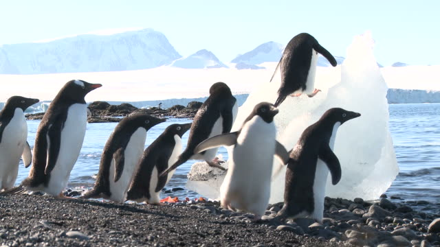 Adelie penguin (Pygoscelis Adeliae) group on beach moving past camera, one feeding on ice. Brown Bluff, Antarctic Peninsula