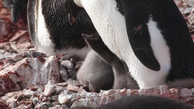 vídeos y material grabado en eventos de stock de adelie penguin (pygoscelis adeliae) m/close young chicks at adults feet begging, antarctica  - grupo mediano de animales
