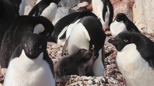 Adelie penguin (Pygoscelis adeliae) med close chicks under parent feeding, Antarctica