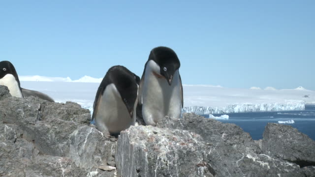 stockvideo's en b-roll-footage met adelie penguin (pygoscelis adeliae) pair at nest. antarctic peninsula - kleine groep dieren