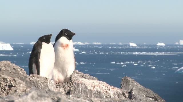 Adelie penguin (Pygoscelis Adeliae) pair with sea and ice behind. Antarctic Peninsula