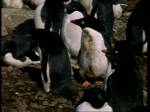 vidéos et rushes de ms adelie penguin, pygoscelis adeliae, colony on shore, antarctica - colony