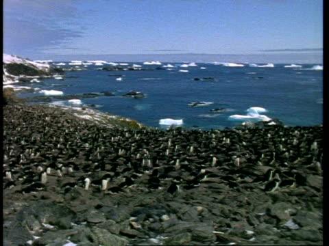 vidéos et rushes de wa adelie penguin, pygoscelis adeliae, colony on shore, antarctica - colony