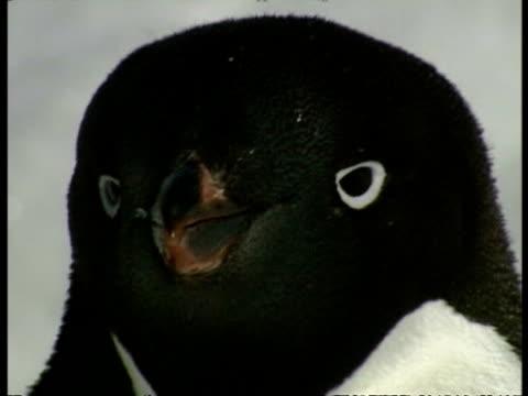 bcu adelie penguin, pygoscelis adeliae, face, antarctica - maul stock-videos und b-roll-filmmaterial