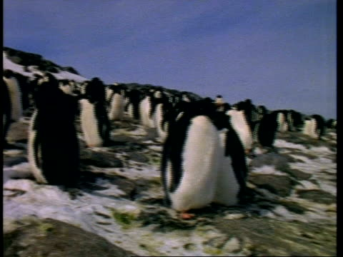 ms adelie penguin, pygoscelis adeliae, waddling about amongst colony, antarctica - waddling stock videos and b-roll footage
