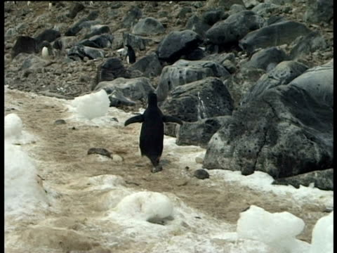 adelie penguin (pygoscelis adeliae) running up slope, paulet island, antarctic peninsula, antarctica - きまり悪さ点の映像素材/bロール