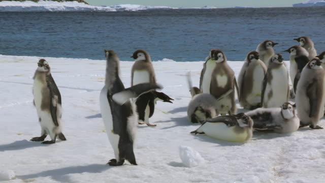 stockvideo's en b-roll-footage met adelie penguin threatens huge fledgling emperor penguin - watervorm