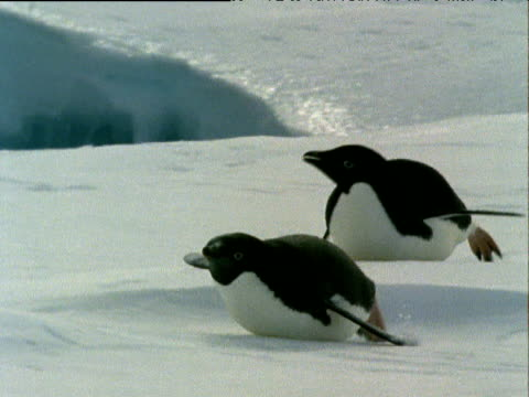 vídeos y material grabado en eventos de stock de adelie penguin tobogganing on sea ice using feet for propulsion and wings as rudders. - deslizar