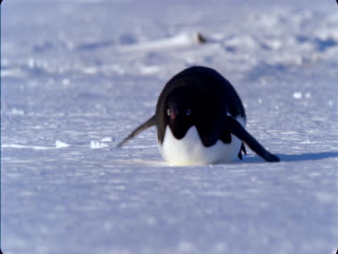 adelie penguin toboggans over snow on its belly in antarctica. - animal abdomen stock videos and b-roll footage