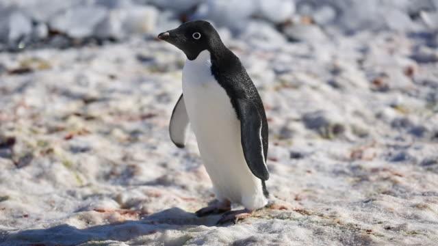 adelie penguin - ペンギン点の映像素材/bロール