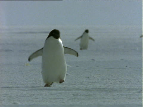 Adelie penguin waddles amusingly towards camera over ice, other penguins in background