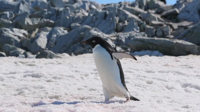 Adelie Penguin walking across snow