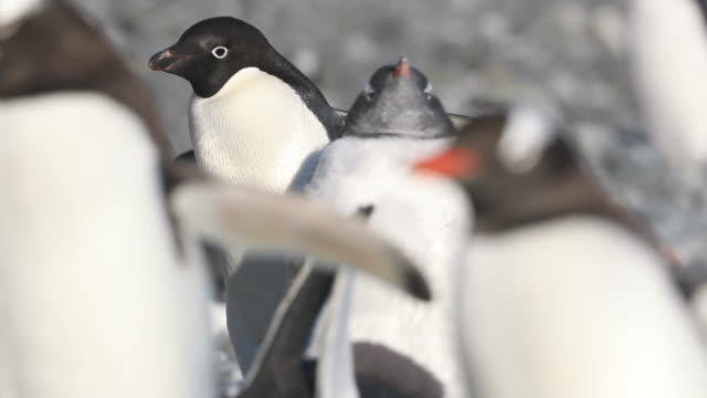 adelie penguin walking amongst gentoo penguins - mittelgroße tiergruppe stock-videos und b-roll-filmmaterial