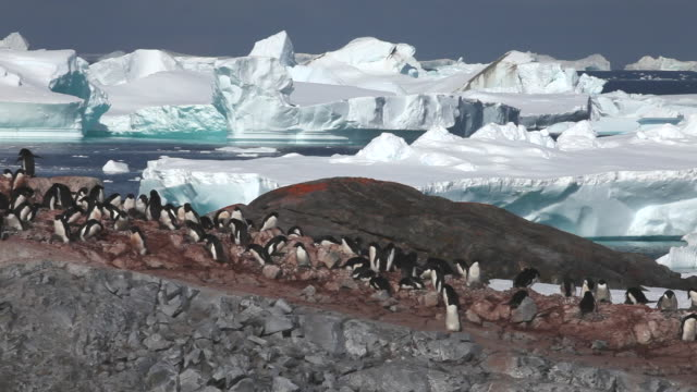 adelie penguin (pygoscelis adeliae) wide colony, antarctica  - colony stock-videos und b-roll-filmmaterial