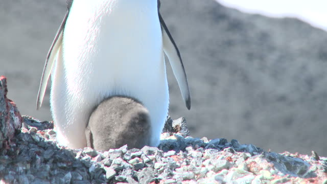 adelie penguin (pygoscelis adeliae) with chick. antarctic peninsula - antarctic peninsula stock videos & royalty-free footage