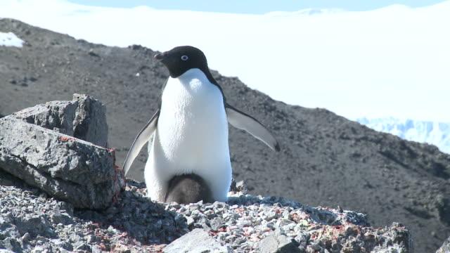 Adelie penguin (Pygoscelis Adeliae) with chick. Antarctic Peninsula