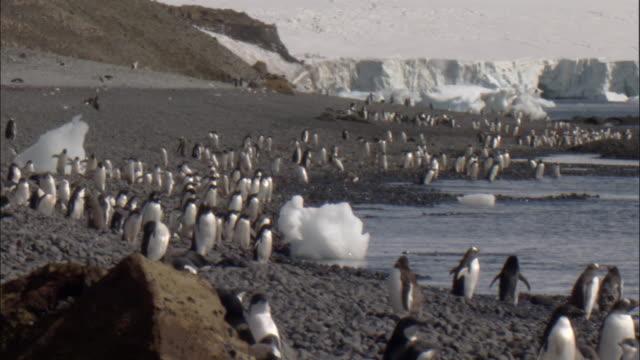 Adelie penguins (Pygoscelis adeliae), adults and juveniles