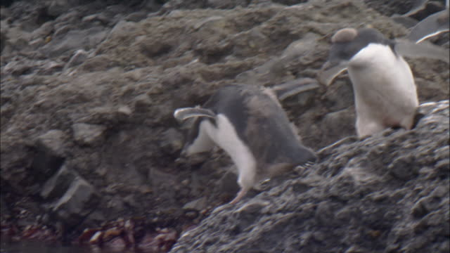 adelie penguins (pygoscelis adeliae), moulting juveniless jumping into shallow water and onto rocks - small group of animals stock videos & royalty-free footage