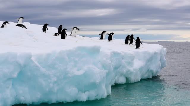 adelie penguins on an iceberg - pinguin stock-videos und b-roll-filmmaterial
