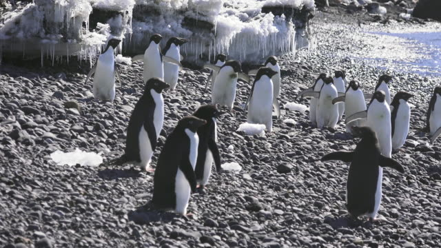 adelie penguins on beach at brown bluff, antarctic peninsula, southern ocean - antarctic peninsula stock videos & royalty-free footage