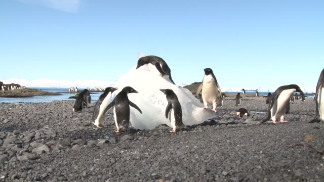 Adelie penguins (Pygoscelis Adeliae) on beach feeding on ice. Antarctic Peninsula