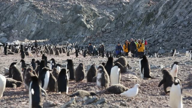 vidéos et rushes de adelie penguins on heroina island, in the danger islands, weddell sea, antarctica with a tourists from a cruise ship. upto 3 million birds nest on... - colony