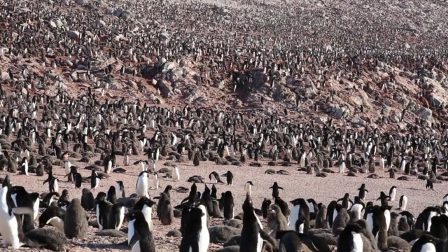 adelie penguins on heroina island, in the danger islands, weddell sea, antarctica. upto 3 million birds nest on the islands and the super colony was only discovered recently from space, by scientists looking at satelite imagery. - pinguin stock-videos und b-roll-filmmaterial