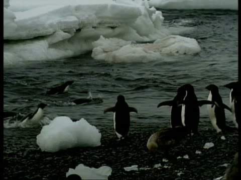 ms adelie penguins, pygoscelis adeliae, waddling into water from shore, edited sequence, antarctica - waddling stock videos & royalty-free footage