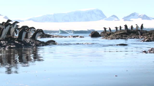 Adelie penguins (Pygoscelis Adeliae) rush across shallow water.  Antarctic peninsula