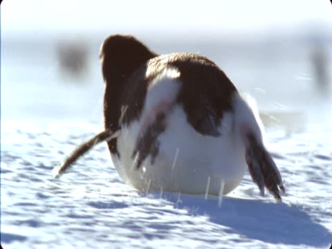 adelie penguins toboggan across the snow on their bellies in antarctica. - rutschen stock-videos und b-roll-filmmaterial
