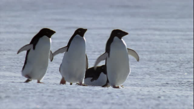 adelie penguins waddle and toboggan across the snow. - sliding stock videos & royalty-free footage
