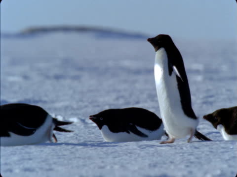 adelie penguins waddle and toboggan over the snow in antarctica. - sliding stock videos & royalty-free footage