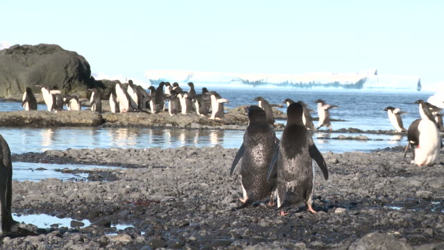 Adelie penguins (Pygoscelis Adeliae) walk at coast, watched by Adelie pair. Brown Bluff, Antarctic Peninsula