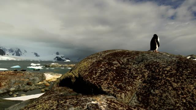 adelie pinguine spazieren an einem schwarzen steinigen strand in der antarktis entlang - tierkolonie stock-videos und b-roll-filmmaterial