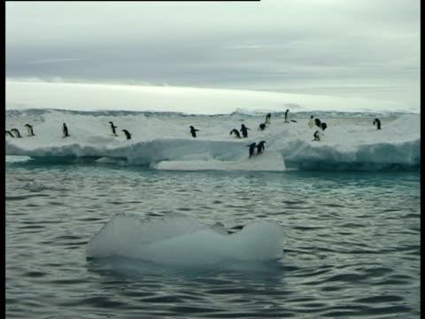 adelie penguins (pygoscelis adeliae) walking and diving off ice raft, paulet island, antarctic peninsula, antarctica - きまり悪さ点の映像素材/bロール