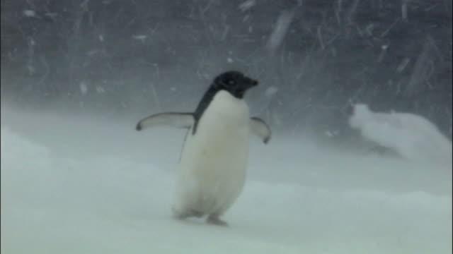 ms pan adelie penguins (pygoscelis adeliae) walking and tobogganing along edge of sea in blizzard / brown bluff, antarctic peninsula, antarctica - schwenk stock-videos und b-roll-filmmaterial