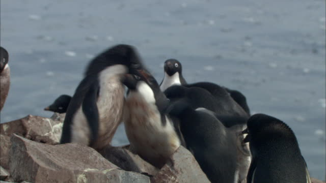 adelle penguins fighting each other - aggression stock videos & royalty-free footage