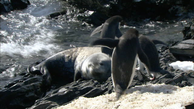 Adelle Penguins get confused Weddell Seal to a rock and they run away
