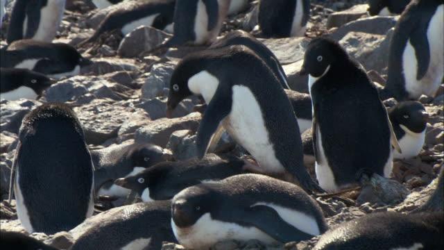 adelle penguins mating - 石点の映像素材/bロール