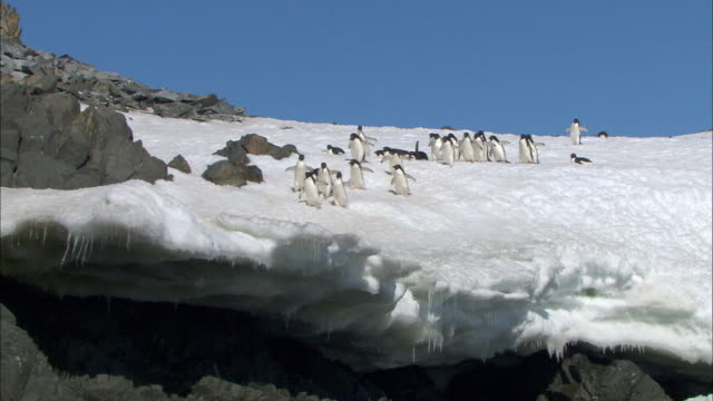 adelle penguins waddling to the cliff - waddling stock videos and b-roll footage