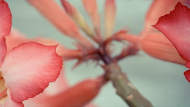 adenium flower known as desert rose, adenium multiflorum. - tropical flower stock videos & royalty-free footage