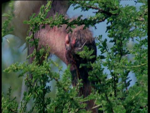 adjutant stork eats young quelea weaver chicks in tree - maul stock-videos und b-roll-filmmaterial