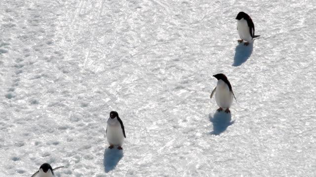 vídeos y material grabado en eventos de stock de ms ha adélie penguins walking on snow, antarctica - cuatro animales