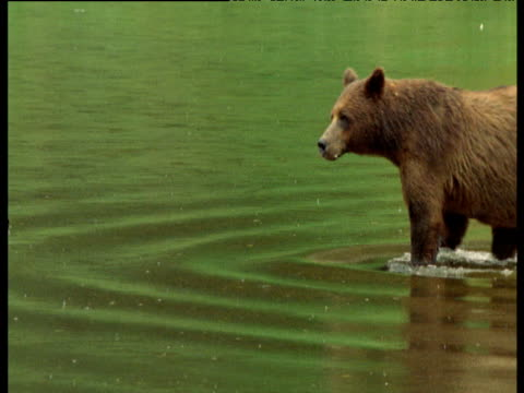 stockvideo's en b-roll-footage met admiralty bear and cub wade through green river - waden