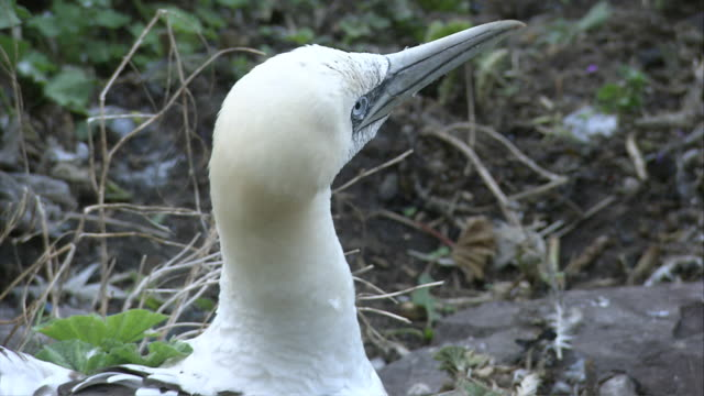 stockvideo's en b-roll-footage met ms cu adolescent gannet with spread wings / bass rock, firth of forth, scotland - firth of forth