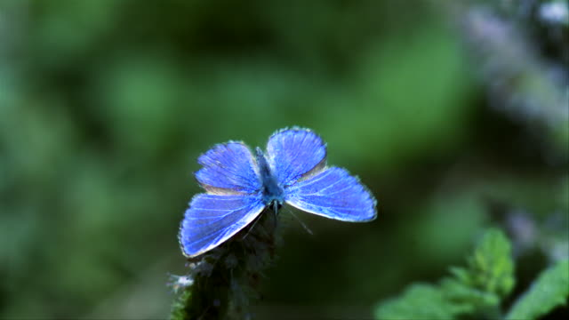 adonis blue butterfly (lysandra bellargus) takes off from a mint flower - 2000fps (160x slowed down) - farfalla video stock e b–roll