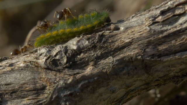 adonis blue caterpillar showing symbiotic relationship with ants. - small group of animals stock videos & royalty-free footage