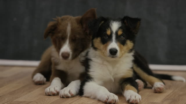 adopt a new best friend - collie stock videos & royalty-free footage