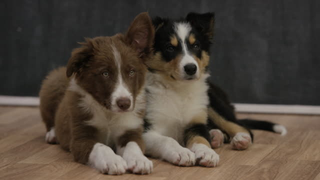 adopt a puppy - border collie stock videos & royalty-free footage
