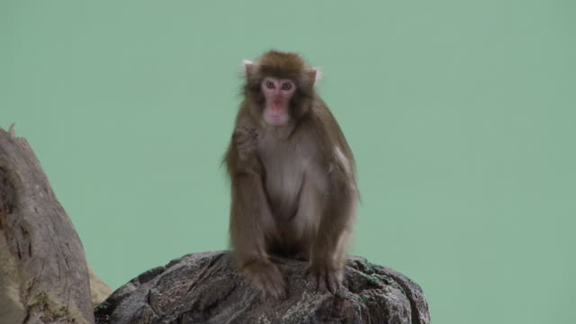 adorable barbary macaque monkey shot over a green screen background sits on a rock. - primate stock videos and b-roll footage
